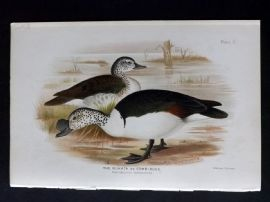 Baker & Gronvold Indian Ducks 1908 Antique Bird Print. Nukhta or Comb-Duck